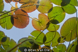 Water lily leafes with silhouettes of a few dragon fly's. by Arjan Van Die 